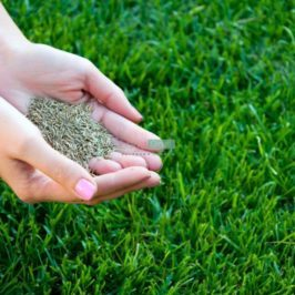 Successful grass seeding - woman hands holding grass seed